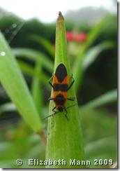 milkweed bug for blog