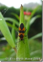 milkweed bug for blog