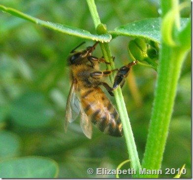 bee using proboscis to collect dew