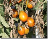 tomatoe cherry
