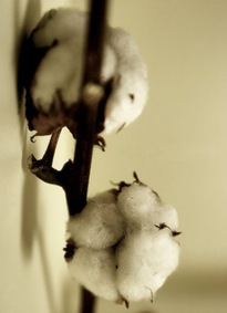 Cotton_plant_by_mtfarda