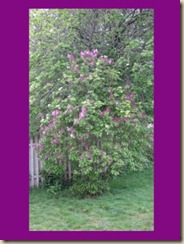 2010 spring lilac