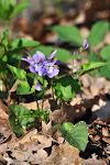 03-04 violka vonná