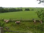Ovečky na cestě dom.