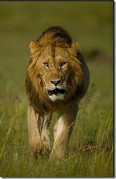 Asiatic Lion_aS
