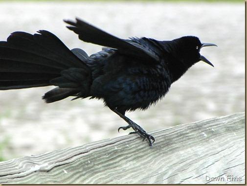 Padre Island birding_093