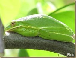 American Tree Frog_20090503_007