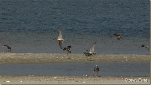 south beach birding_045