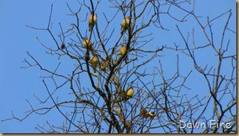 Birds Cedar waxwing_007