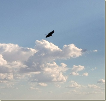 02 Turkey vulture soaring over canyon Crazy Jug Point GRCA AZ (1024x980)