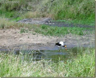 11 Saddle billed stork Kruger NP Mpumalanga ZA (800x648)