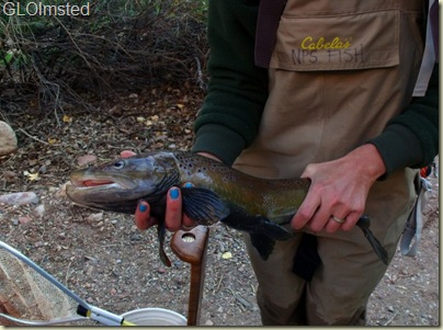 05 Brown trout caught by NPS biologist in Bright Angel Creek GRCA NP AZ (800x595)