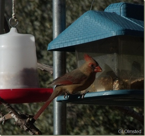 01 Lady Cardinal at feeder Yarnell AZ (1024x956)