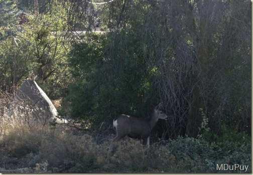 03 Doe in yard Yarnell AZ by Mike (1024x708)