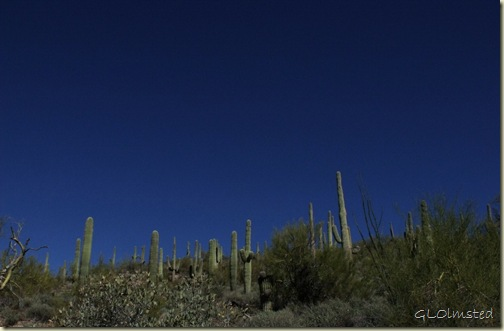 01 Saguaros BLM desert off Vulture Mine Rd Wickenburg AZ (1024x671)