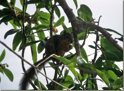 01 Squirrel in fig tree San Benito TX (1024x753)