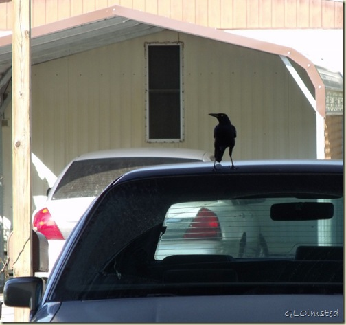 01 Grackle on Mom's car San Bentio TX