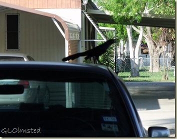 02  Grackle on Mom's car San Bentio TX