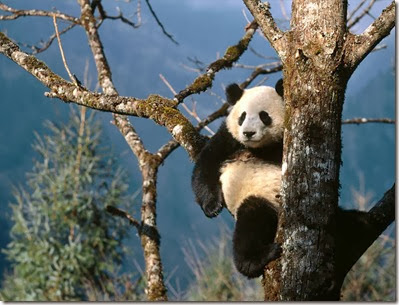 Natural_Recliner,_Giant_Panda