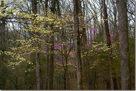 redbuds and dogwoods 003