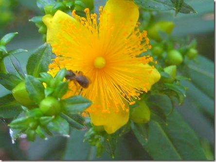macro of yellow flower with flying ant on it