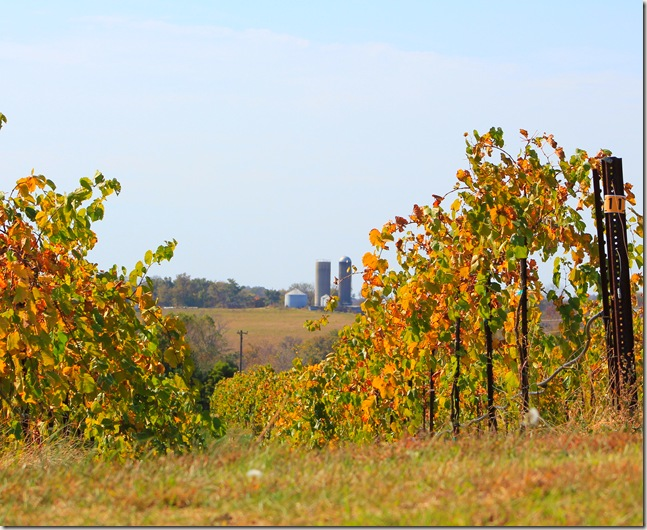 Grape plants with farm silos in the distance