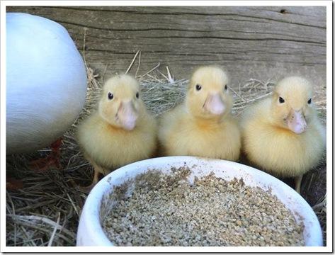 ducklings 001