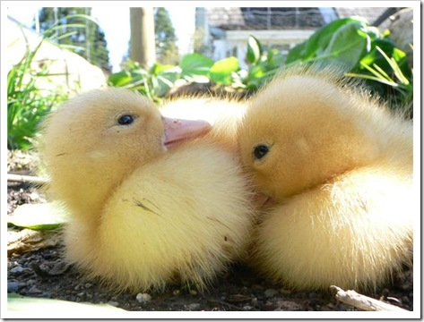 ducklings 002