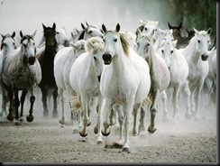 wildhorses, white