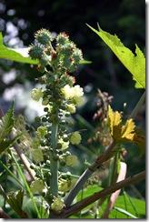 Castor plant - photo