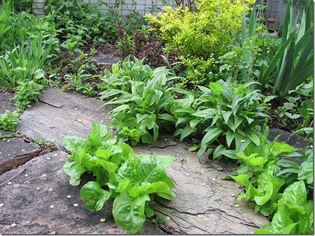 Lettuce in the paths