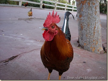 A rooster at Knott's Berry Farm