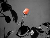 Rosas 08 [640x480]