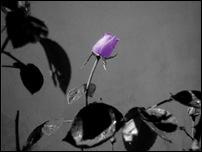 Rosas 09 [640x480]