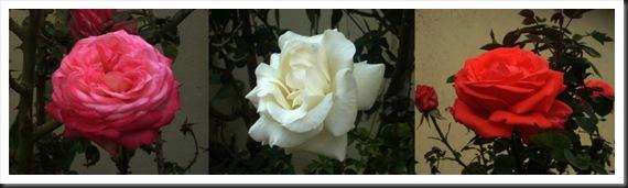 Rosas x 3 [1024x768]