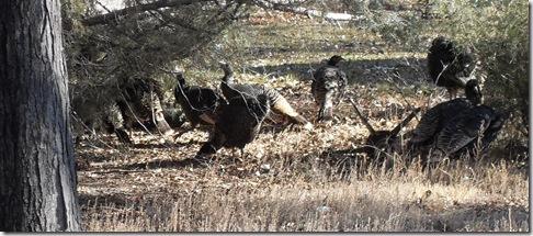 SDC14143 turkeys