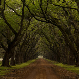 Alley of Oaks at The Evergreen Plantation by David Sr - Nature Up Close Trees & Bushes