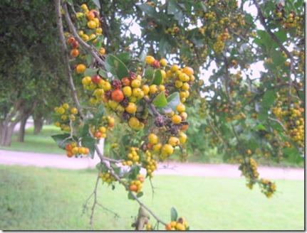 Anaqua berries