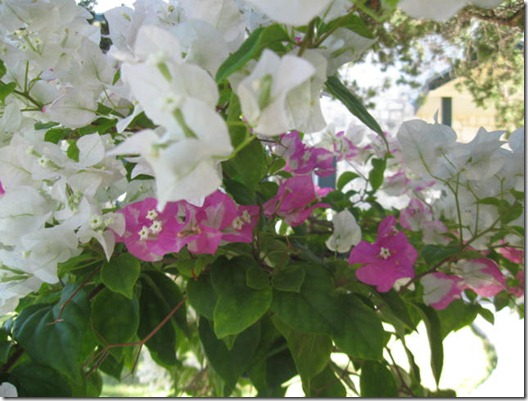 bouganvilla white and pink