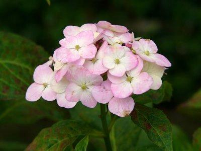 椿寿庵 アジサイ ピクシー桂の舞姫アジサイ ピクシー桂の舞姫 やさしいピンクの花...  アジサ