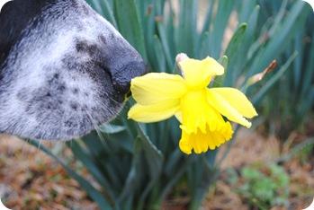 Maddy and daffodil