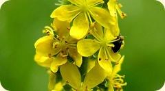 flor-bach-agrimonia