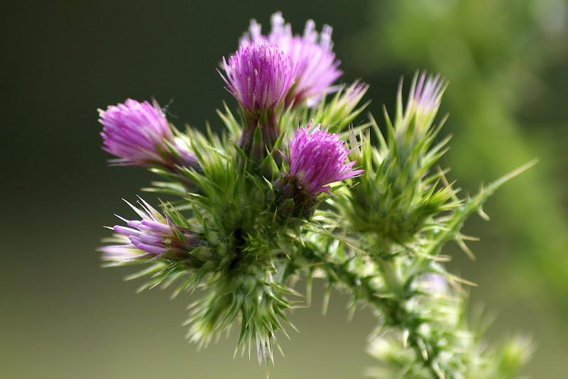 As cores da flor de Cardo