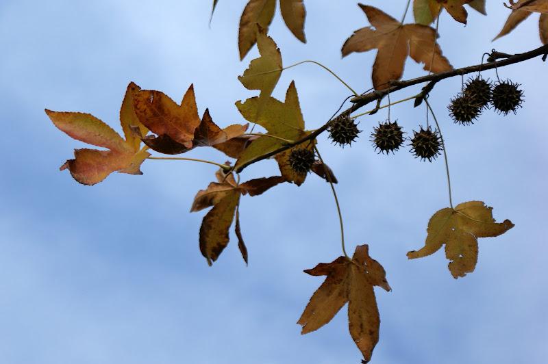 Detalhes do inverno, folhas de plátano