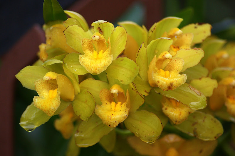 Num dia de chuva, Orquídeas amarelas