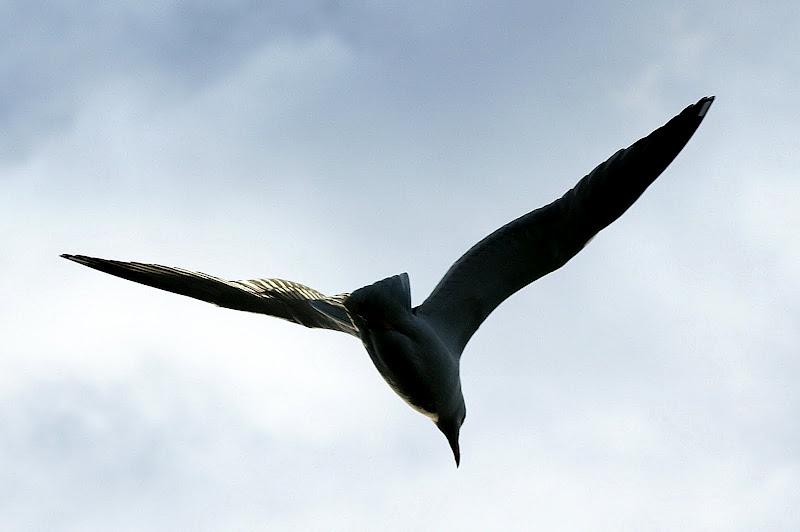 Gaivota a voar