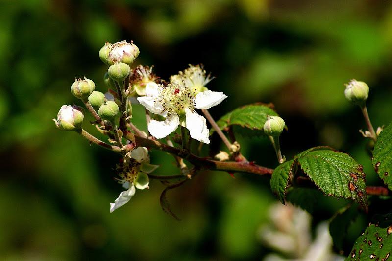 Flor de silva