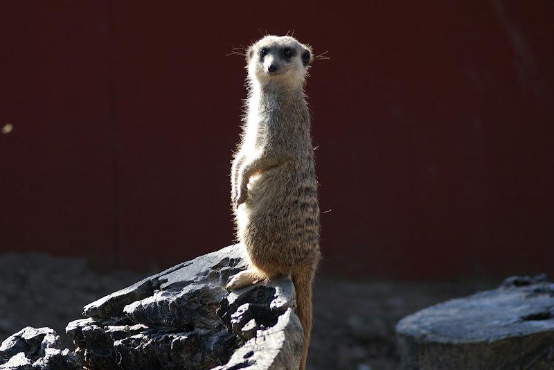 O vigilante, suricata no monte selvagem
