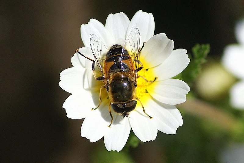 Sírfídeo nas flores silvestres