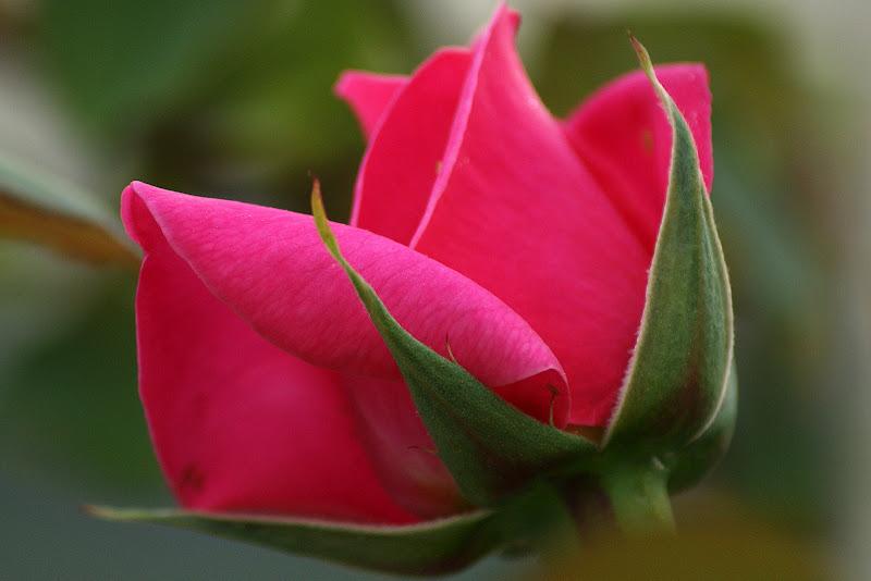 Detalhes, rosa vermelha